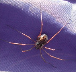 Hämähäkki